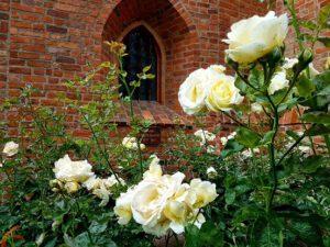 Róże przy Katedrze w Bydgoszczy